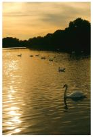 Swans at Sunset by Forestina-Fotos