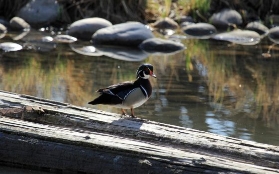 Wood Duck by sgt-slaughter