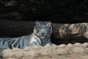 white tiger by AngelicPicture