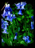 Bluebells by Forestina-Fotos