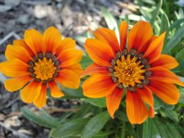Orange Twin Flowers by Jazmine51397