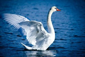 The Swan by RLPhotographs