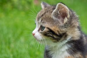Kitten profile by attomanen