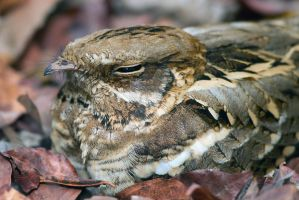 Camouflaged - Long-tailed nightjar by Jamie-MacArthur