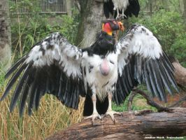 King Vulture 1 by scythemantis