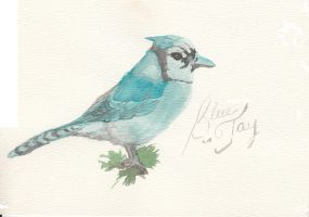 blue jay by color-maniac