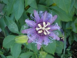 Passion Flowers by baronbeandip
