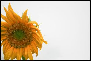 Sunflower by csdavis
