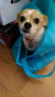 Bagged chihuahua by lestnill
