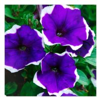 Petunia by Hewnly