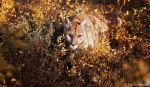 mountain lion hunting by Yair-Leibovich
