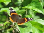 Red Admiral 3 by Temansha