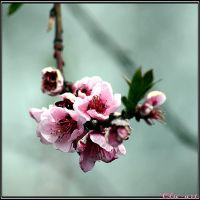 Blushing Peach Blossoms by Clu-art