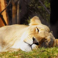 Lazy Lioness by Cattereia