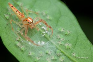 Wide Jawed Viciria With Babies by melvynyeo