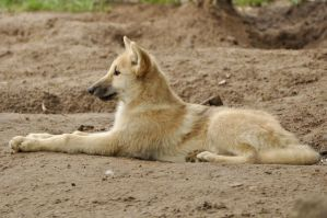 2013 August: Wolves in Berlin 35 by windfuchs