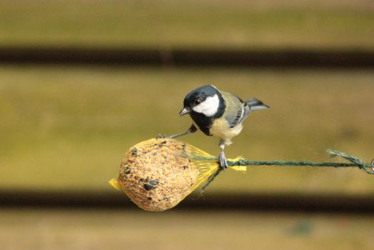 Awesome tomtit surfing by JetteReitsma