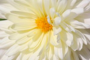 White aster flower by MaresaSinclair