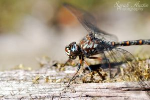 Dragonfly by CapnSarah