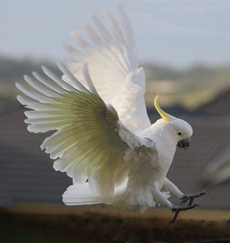 Sulphur Crested Cockatoo 30 by chezem