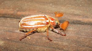 Tahoe Chafer by Animorganimate