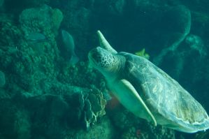 sea turtle 3 by MLeighS
