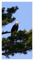Bald Eagle by Julian-Bunker
