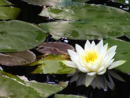 Water Lilly by astomious