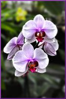 Orchid 3 by TThealer56