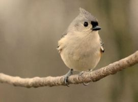 Tufted Titmouse II by JMcCarty09
