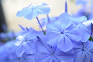 Blue flowers by KarmicPixie