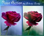 Rose Action by Sireysi