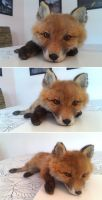 Young Red Fox Softmount by DeerfishTaxidermy