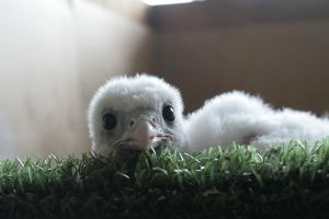 Gyrfalcon chick needs a name by longwing