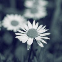 daisy. by Janine-Autumn