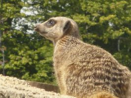 Meerkat by Embrace-The-Night