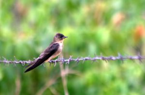 Southern Rough-winged Swallow by BrunoDidi