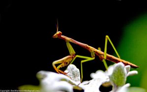 Mantis 1 by rctfan2