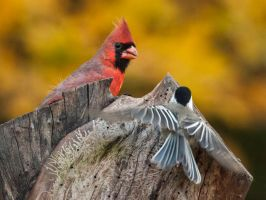Cardinal and Chickadee by MichelLalonde