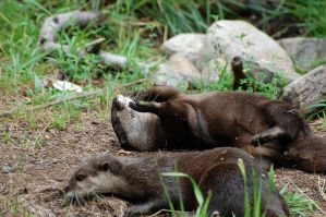 Asian Small-Clawed Otter 006 by The-Long-Shot