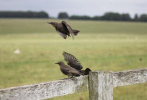 Starlings 3 by Tasastock
