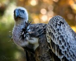 Autumn Vulture by DeniseSoden