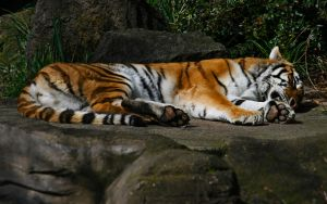 Tired Tiger by FrostAvy