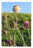 Field of thistle by mcbadshoes