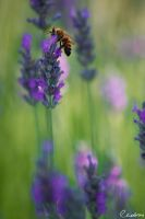 Lavender Bee by cedrus