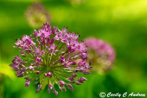 Allium Flower Bulb by CecilyAndreuArtwork
