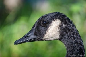 Canada Goose (portrait) by GuillaumGibault