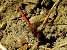 red dragonfly 4 by wolfman74