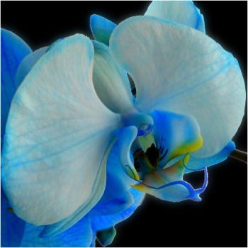Blue Orchids by Marsala