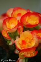 Begonias by poetcrystaldawn